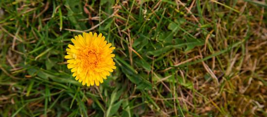 Obraz Mlecz w ogrodzie. Żółty kwiat - fototapety do salonu
