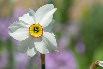 Wall Mural - Beautiful spring daffodil flower