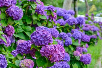 Deurstickers Hydrangea 紫陽花