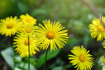 Close-up of Doronicum orientale or leopard's bane with bright yellow flowers. Decorative flowering plant in the garden.