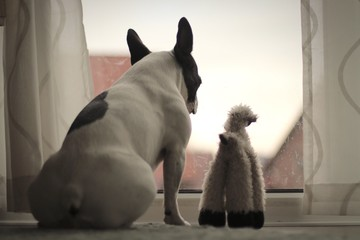 Fotobehang Franse bulldog Close-up Of French Bulldog Looking Through Window At Home