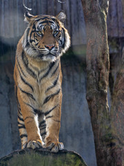Printed roller blinds Tiger The female, Sumatran Tiger, Panthera tigris sumatrae, observes the work of the photographer