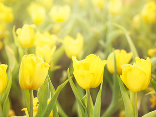 Wall Mural - Yellow tulip flower field background.
