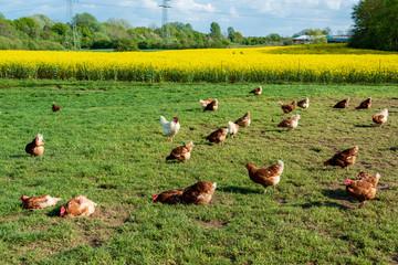 Foto op Plexiglas Weide, Moeras Artgerechte Tierhaltung in Schleswig-Holstein. Frei laufende Hühner auf einer Wiese in Moorsee bei Kiel