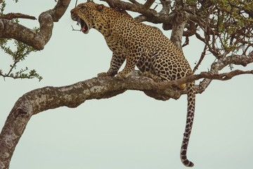 Wall Murals Leopard View Of Leopard Sitting On Tree Branch