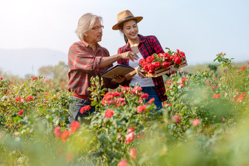Senior Asian Farmers Holding Tablet and Talking with asian Young Woman in Rose Field.