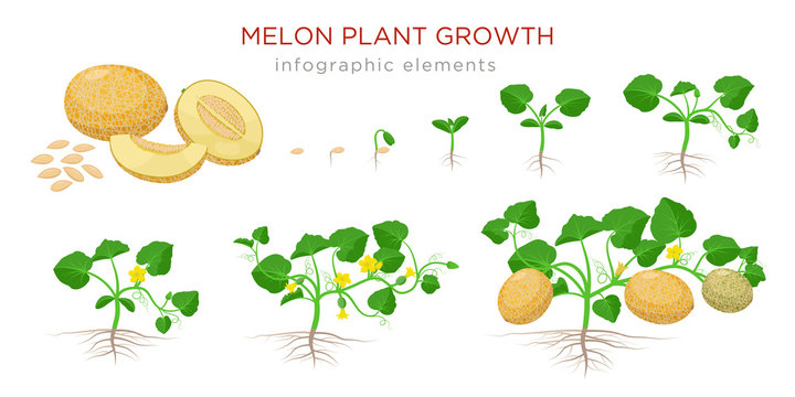 Melon plant growing stages from seeds, seedling, flowering, fruiting to a mature plant with ripe melons - set of botanical illustrations, infographic elements, flat design isolated on white background