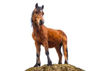 The Connemara Pony isolated over white