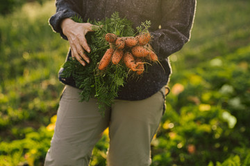 Close-up of woman holding freshly picked organic carrtos from garden