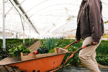 Farmer working in greenhouse pushing wheelbarrow