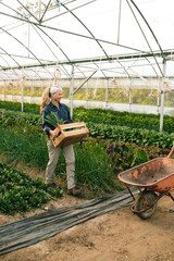 Female farmer carrying box with freshly picked vegetables in greenhouse