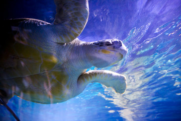 sea turtle swimming in water Wall mural