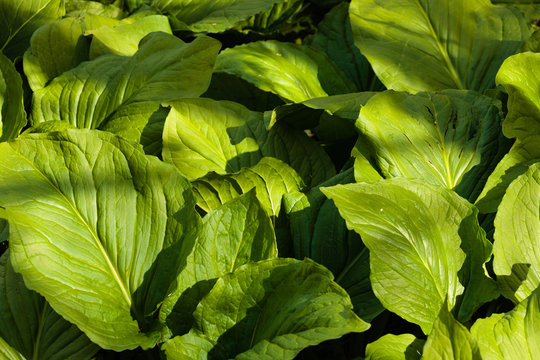 The morning spring sunshine casts shadows across the skunk cabbage leaves growing thickly in the wet spring area within the Pike Lake Unit, Kettle Moraine State Forest, Hartford, Wisconsin