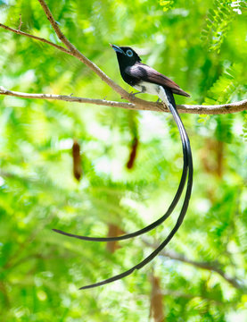 Japanese Paradise-flycatcher, Migratory birds with very long tails