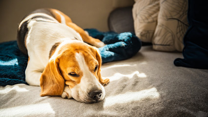 Beagle dog tired sleeps on a couch in bright room. Sun lights through window Fotobehang