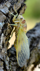 Macro of young cicada (Lyristes plebeja) coming out of his exuviae, on branch seen from profile