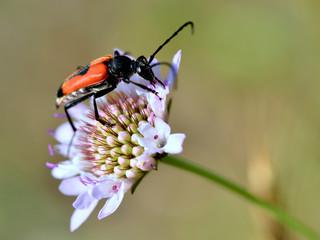 Macro of beetle (Leptura cordigera) feeding on scabiosa flower