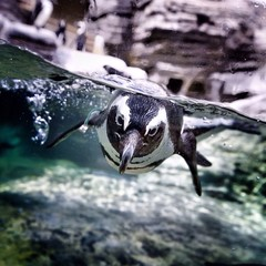 Photo sur Toile Pingouin Penguin Swimming In Sea