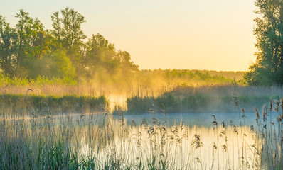 Reed along the edge of a misty lake below a blue sky in sunlight at sunrise in a spring morning