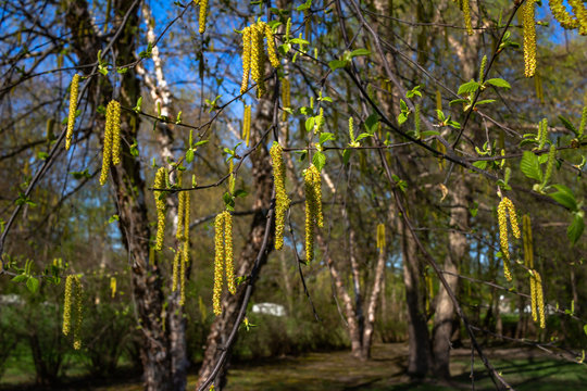 Bright yellow catkins bloom on a river birch tree (betula nigra) in spring, with blue sky background