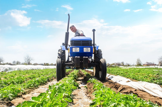 A farmer drives a tractor through the rows of a potato plantation. Improving quality of ground to allow water and nitrogen air to pass through to roots. Crop care. Farming agricultural industry