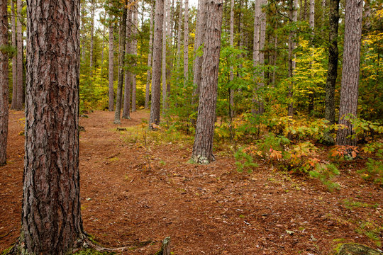 Red pine tree trunks stand as soldiers in the northwoods within the Crystal Muskellunge State Park near Sayner, Wisconsin in early autumn, contrasting with the changing colors