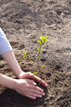 Ecology concept. Hands are planting young green tree plant in a soil