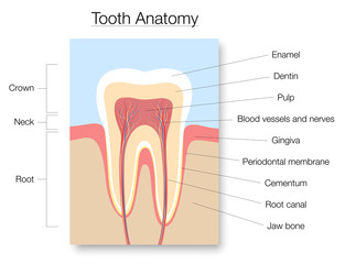 Tooth anatomy, medical labeled cross section chart with enamel, dentin, pulp, gingiva, blood vessels and nerves. Isolated vector illustration on white background.