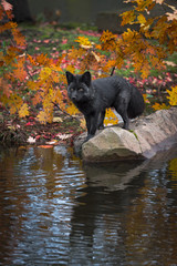 Fototapete - Silver Fox (Vulpes vulpes) Stands on Island Rock Looking Left Autumn
