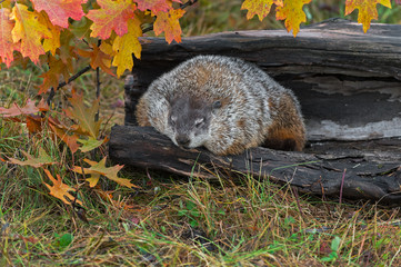 Fotomurales - Woodchuck (Marmota monax) Hangs Over Side of Log Snoozing Autumn