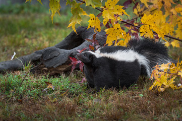 Fotomurales - Striped Skunk (Mephitis mephitis) Raises Nose to Sniff Air by Log Autumn