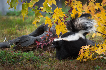 Fotomurales - Striped Skunk (Mephitis mephitis) Backs Up in Leaves Tail Raised Autumn