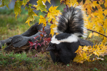 Fotomurales - Striped Skunk (Mephitis mephitis) Tail Raised Stands Near Log Autumn