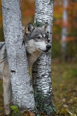 Fototapete - Grey Wolf (Canis lupus) Head Stuck Between Birch Trees Autumn
