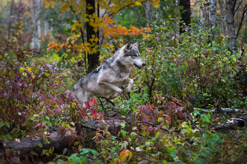 Fotomurales - Grey Wolf (Canis lupus) Leaps Over Log Autumn