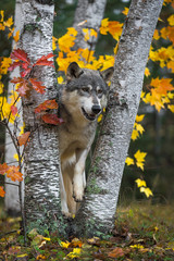 Fototapete - Grey Wolf (Canis lupus) Stands Between Trees Paw Up Autumn