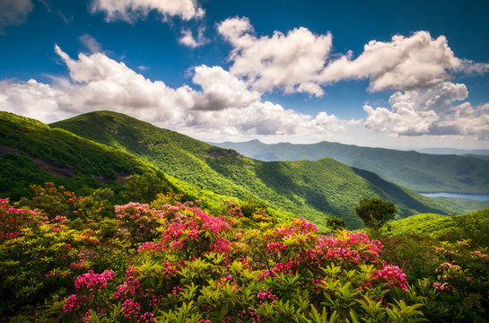 Pink mountain laurel flowers along the Blue Ridge Parkway near Asheville, North Carolina. These flower blooms are common in the Southern Appalachian Mountains and make for beautiful scenic landscapes.