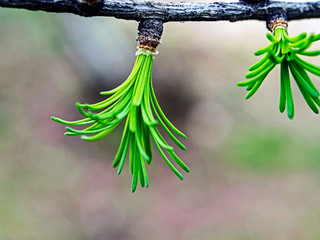 Fototapete - first green leaves on the branch of a larch tree