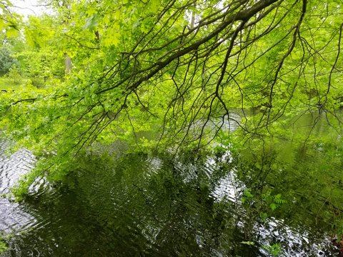 Beautiful view of a green maple tree touching the surface of a lake near Bellevue Park, Wilmington, Delaware, U.S.A