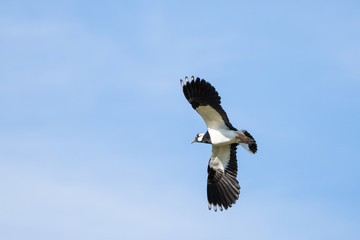 Northern lapwing flying in front of a blue sky