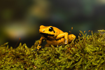 """Young golden poison frog """"Blackfoot"""" on a mossy branch"""