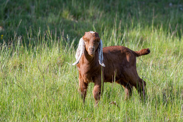 brown baby goat with long white ears in meadow