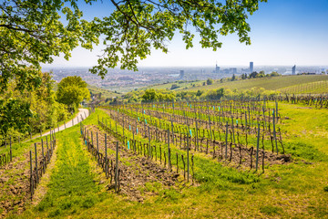 View of Nussdorfer vineyards from Leopoldsberg at springtime near Kahlenbergdorf with Vienna skyline in the back, Austria