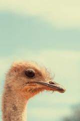 Zelfklevend Fotobehang Struisvogel Head of ostrich