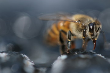 close up of a bee macro