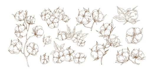 Set of raw cotton flower monochrome vector graphic illustration. Collection of different floral buds plant with branch and leaves isolated on white background. Natural fluffy organic herb