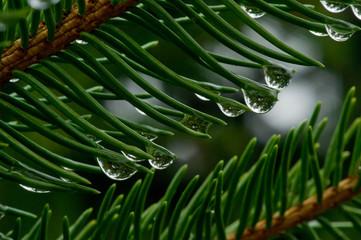 krople deszczu na zielonych igłach świerku, makro