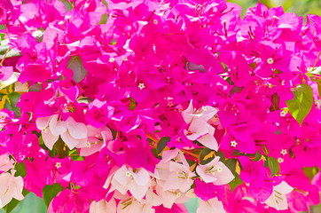 Poster Rose Full frame shot of pink and white bougainvillea flower group grows the summer during the daytime.