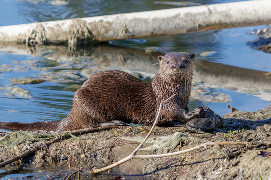 River Otter in South Florida Lakes