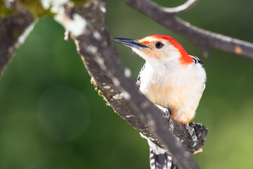 Wall Mural - Curious Red-Bellied Woodpecker Perched in a Tree
